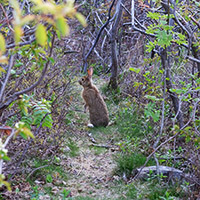 A hare on the Cuckold's Cove trail, just over the hill.